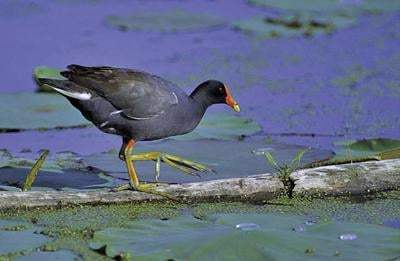 Common gallinule uncommonly delightful in any landscape