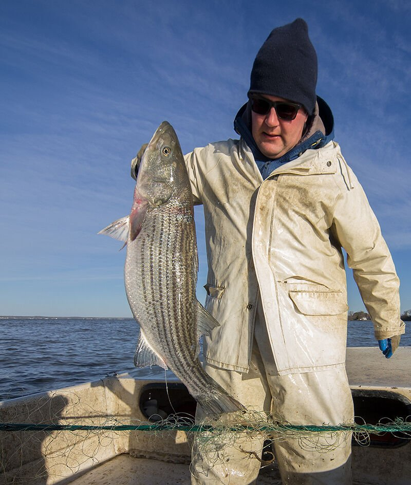 Commercial striped bass caught