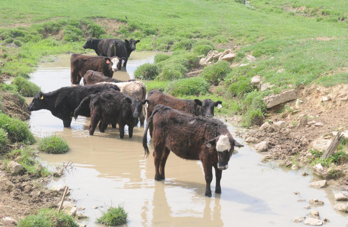 Cattle in creek, VA