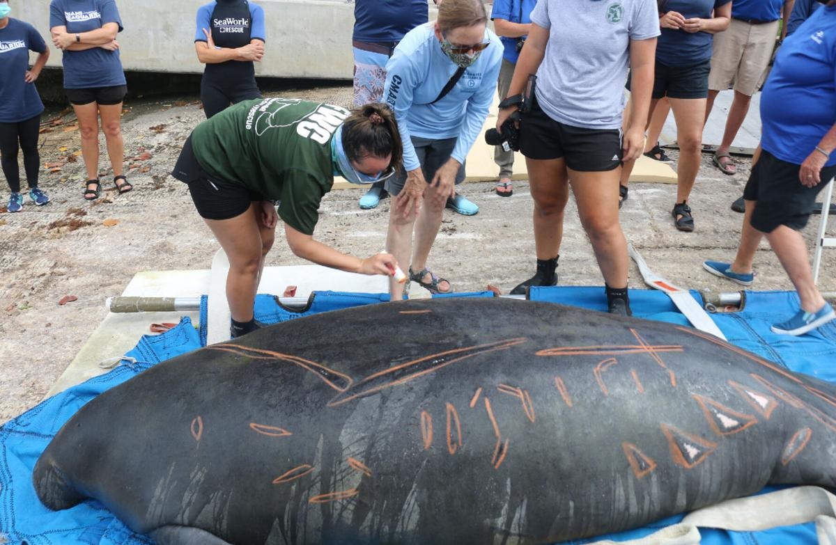 Chessie the manatee rescued