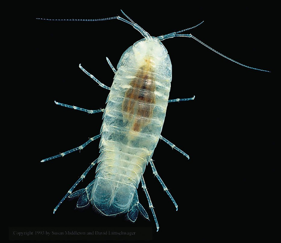 Madison Cave isopod
