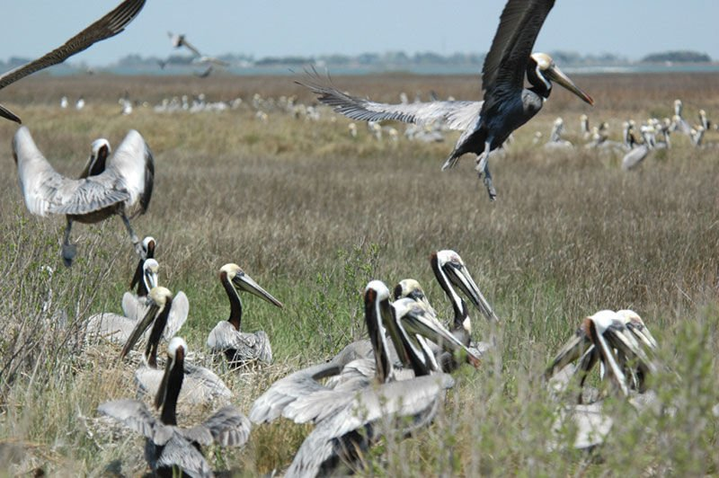 Brown pelicans becoming more common in Bay area