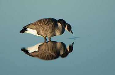 Canada geese reflection