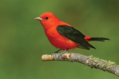 Scarlet tanager's startling red flash like fireworks in the forest