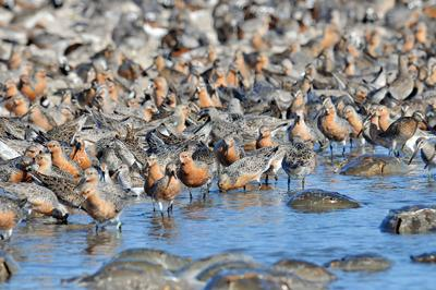Long migration makes red knots hungry for horseshoe crab eggs