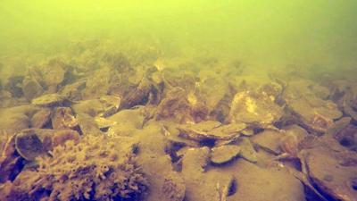 SERC oyster bottom survey