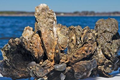 How can we save oysters if we harvest them faster than they reproduce?