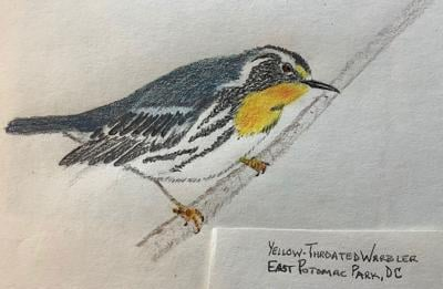 Yellow-throated warbler sketch
