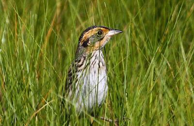 Saltmarsh sparrow needs tide to turn in its favor if it is to survive