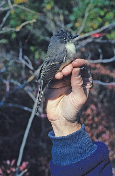 When an Eastern phoebe is hungry for insects, it just wings it