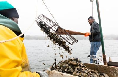 Oyster harvesting in MD
