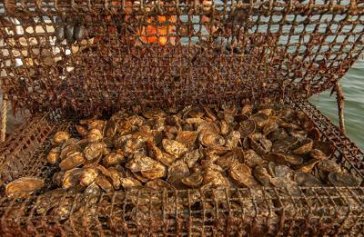 Aquaculture oyster farm
