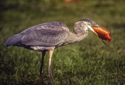 Heron eating a goldfish