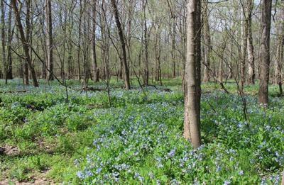 Virginia riverside trails a rhapsody of bluebells
