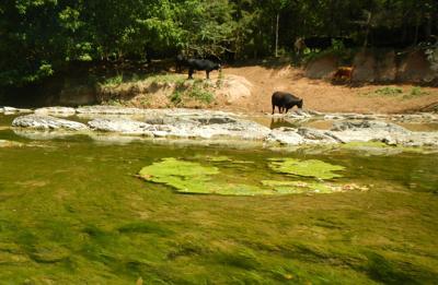 Cattle and algae Shenandoah River
