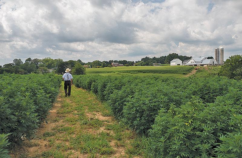 Amish hemp farmer