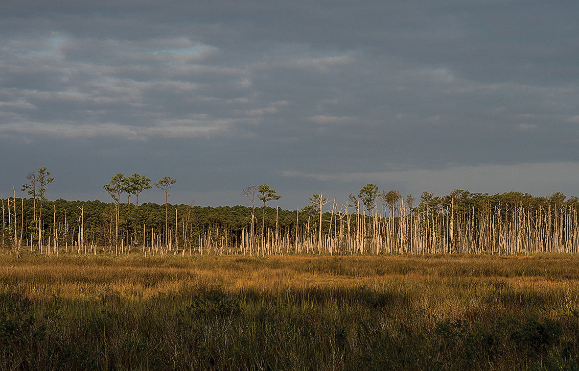 Ghost forest along Little Choptank River, MD