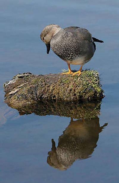 Gadwalls, ducks show that birds of many feathers can flock together