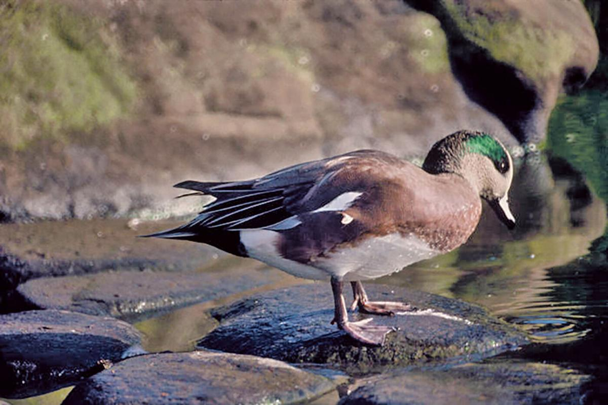 American wigeon, male