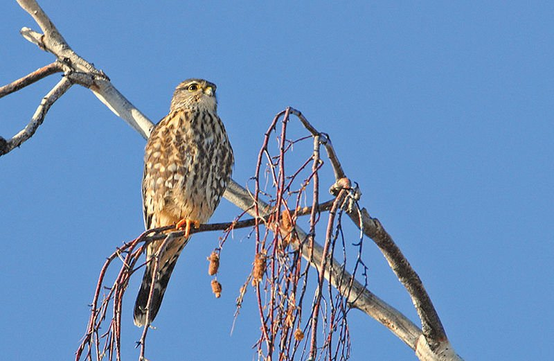 Merlin's efficiency at dispatching prey mesmerizing to watch