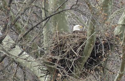 Bald eagles at Masonville Cove, MD
