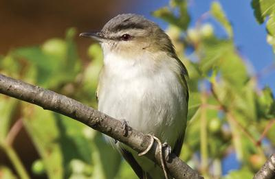 Red-eyed vireo fills the forest, hearts of its listeners with song