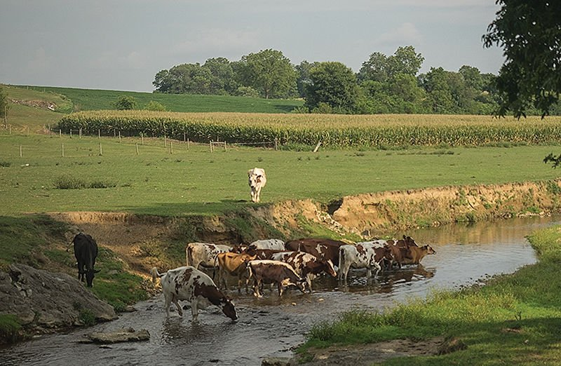 Cows wading in stream 2
