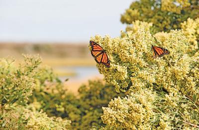 Monarch butterflies on Poplar Island