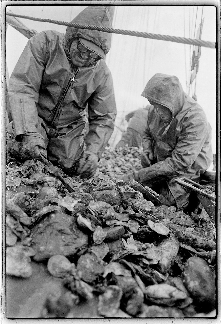 Culling oysters 1976