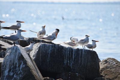 Birds' return to Hampton Roads island defies expectations
