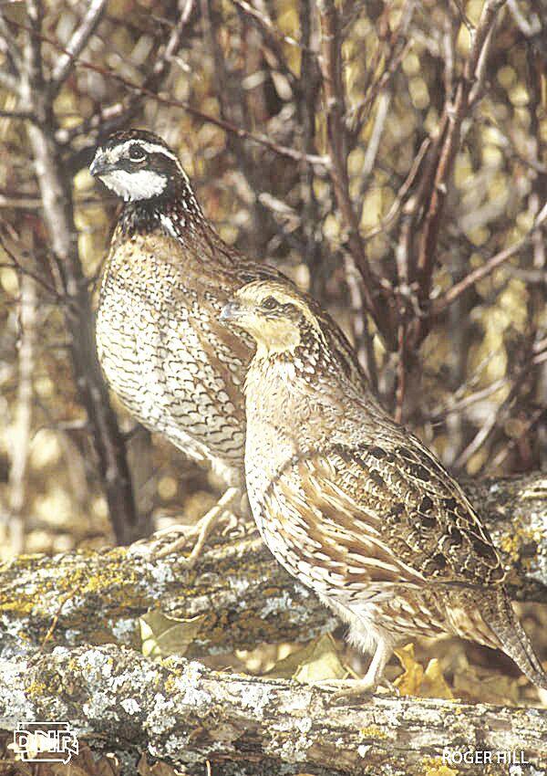 bobwhite quail.jpg