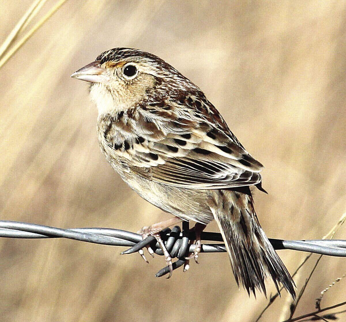 grasshopper-sparrow.jpg