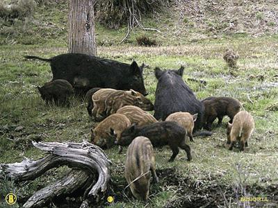 Feral swine population dropping in Oregon