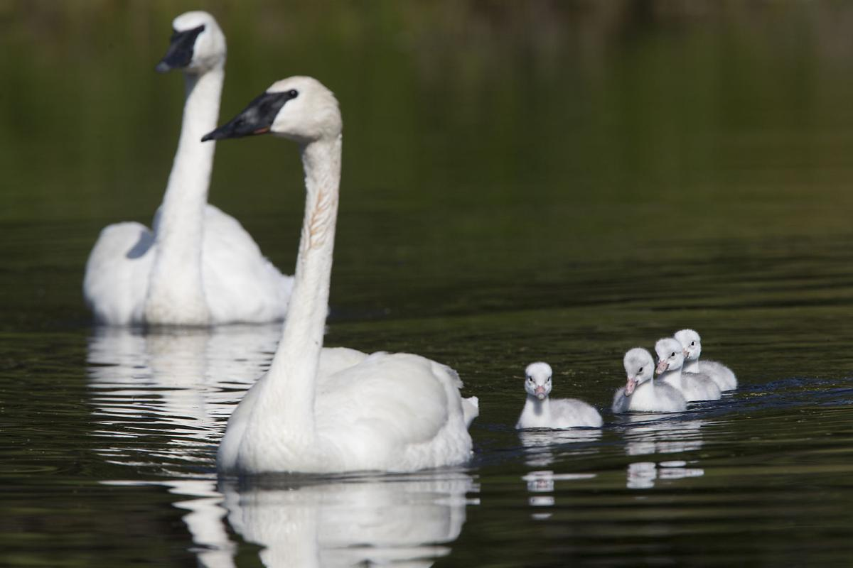 Baby trumpeter swans may make 2019 breeding season the best in recent years