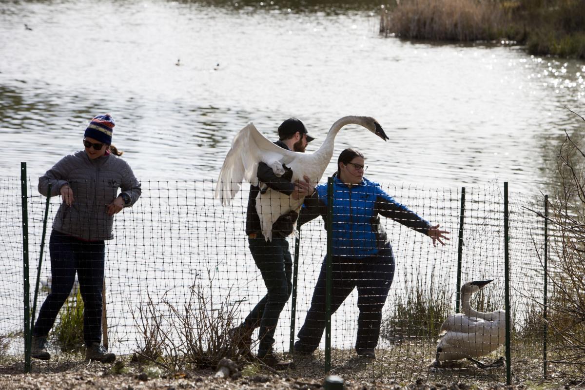 Summer Lake offers refuge for threatened swans