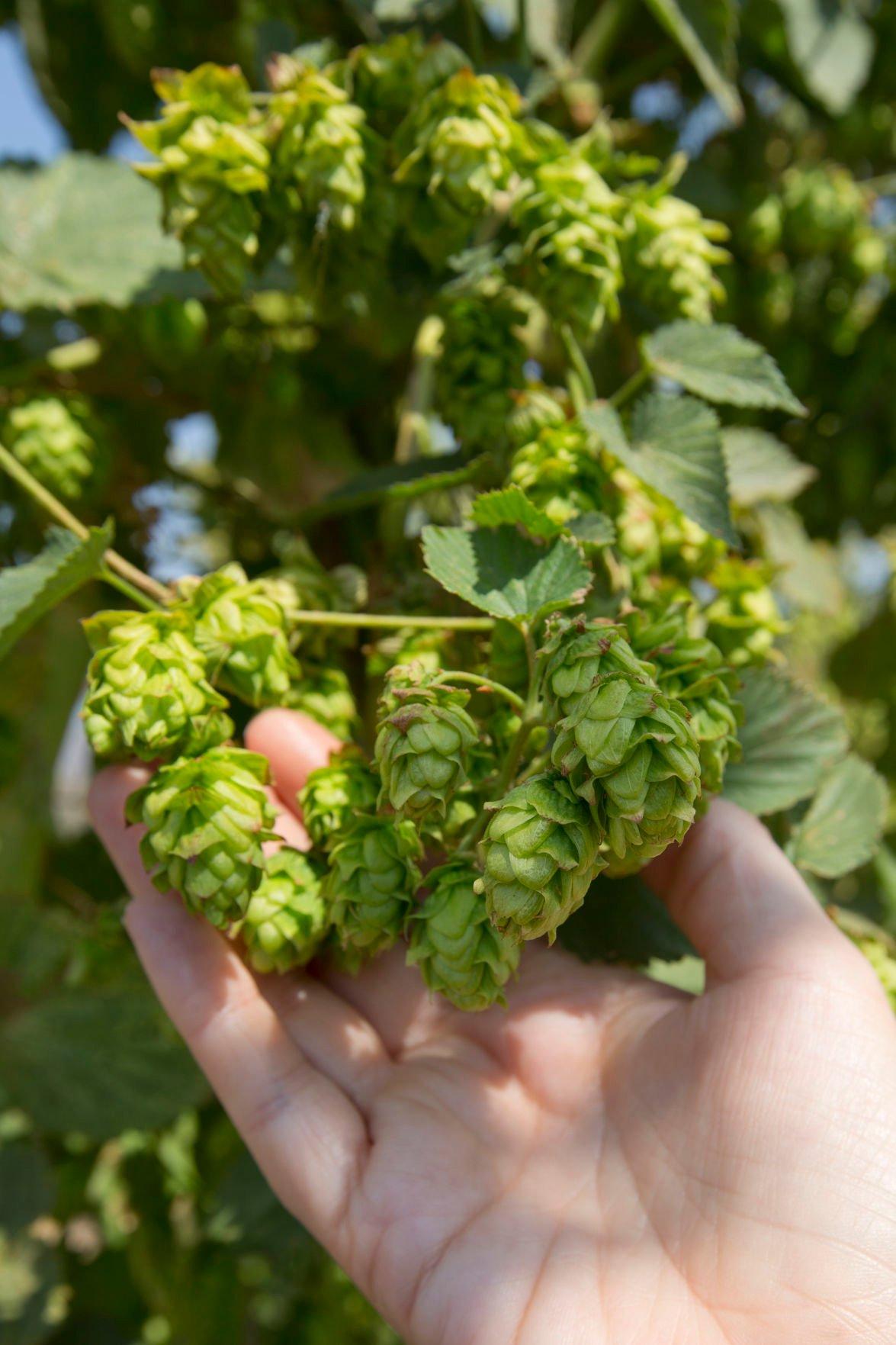Tour shows off High Desert hop farms
