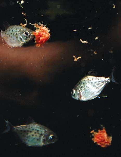 A Fish Called Piranha Lifestyle Bendbulletin Com