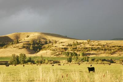 Cattle graze (copy)