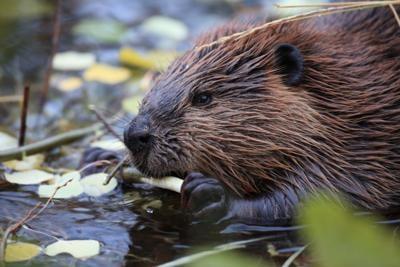 North American Beaver (Castor canadensis) eating, (copy)