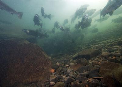 Coho salmon in Eagle Creek
