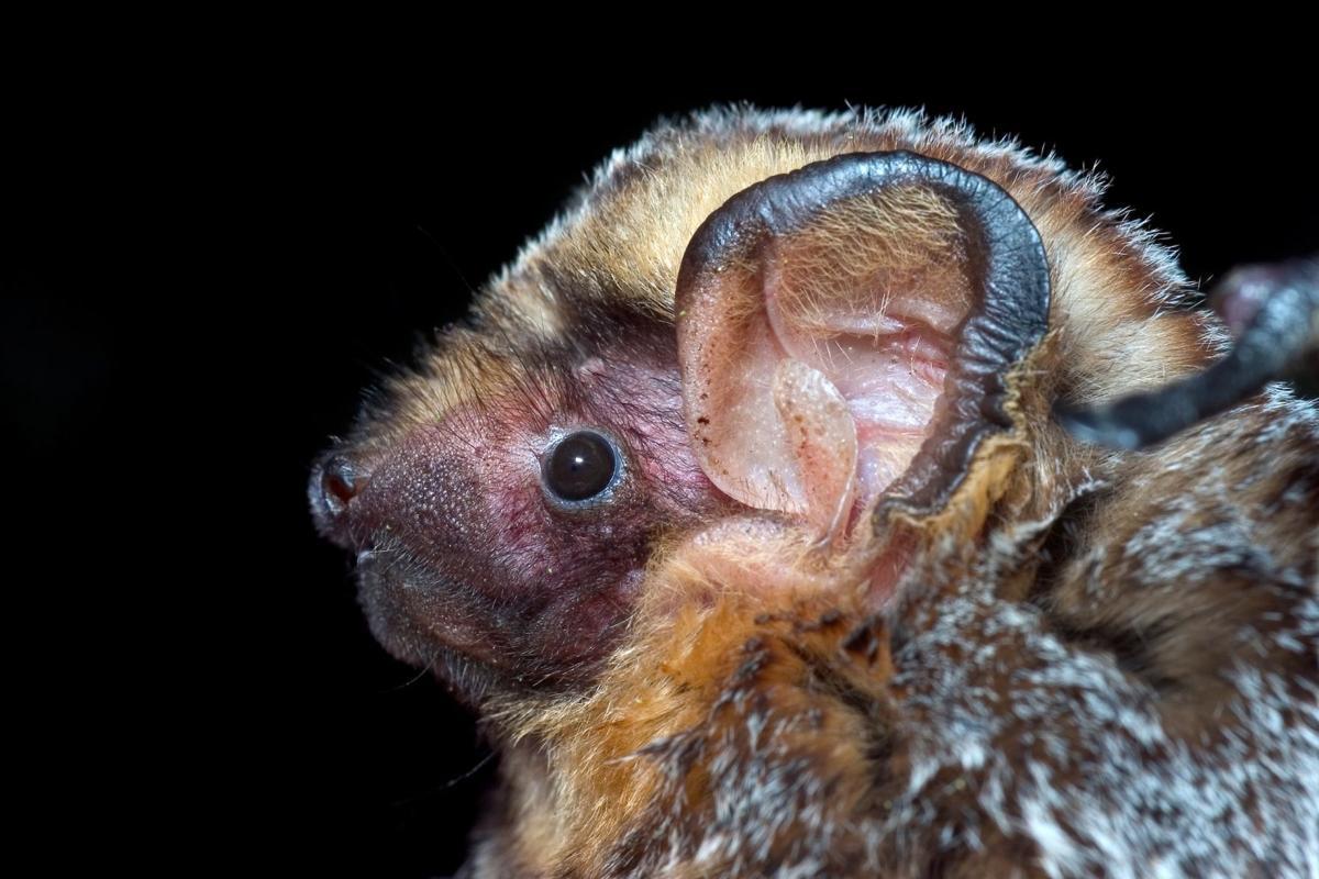 Hoary bat numbers decline amid wind turbine expansion