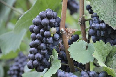 Napa Valley winery rejects 2,000 tons of S. Oregon wine grapes