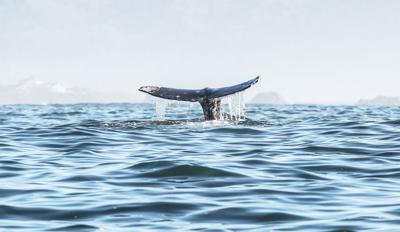 Resident gray whales travel more than originally thought
