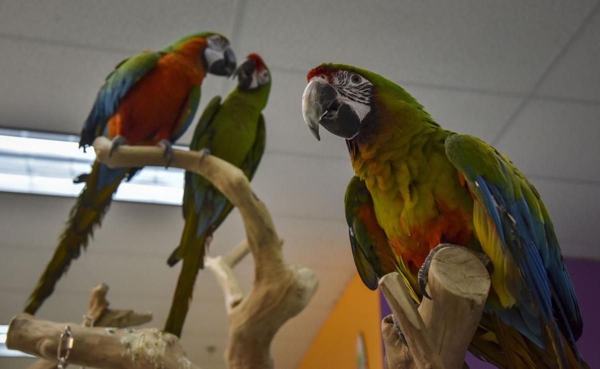 An unlikely parrot love story