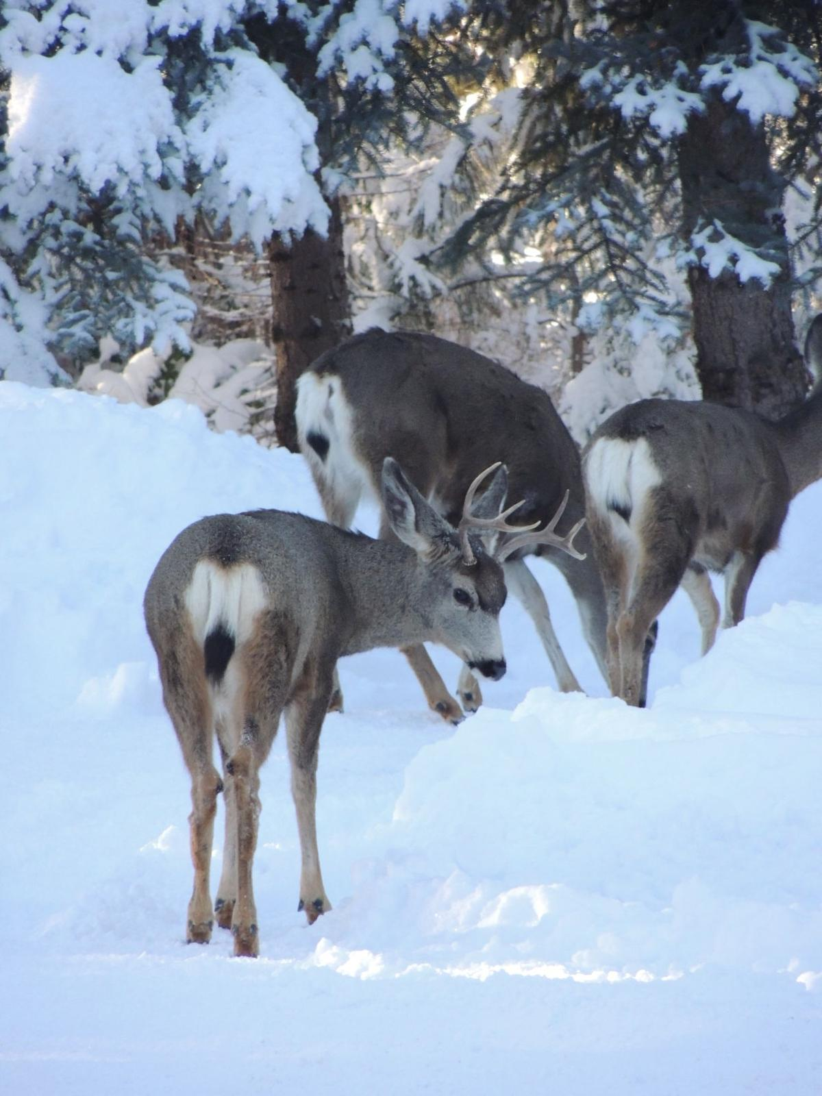 Central Oregon mule deer migrations in crisis
