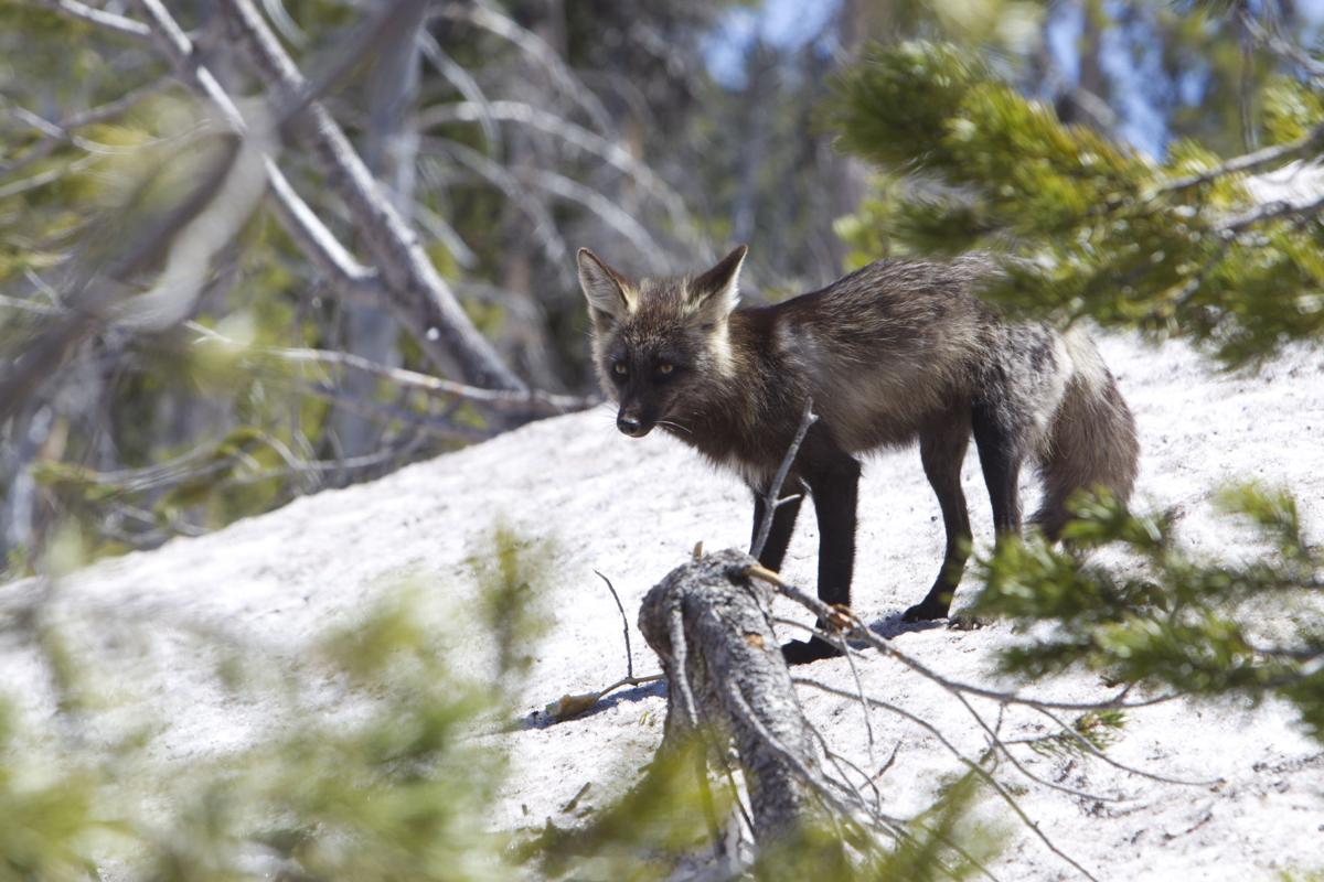 On the hunt in Oregon for a rare fox
