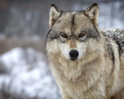 Editorial: More work needed to prevent wolves from killing livestock