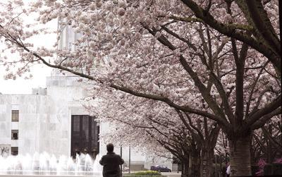 Capitol's iconic cherry trees