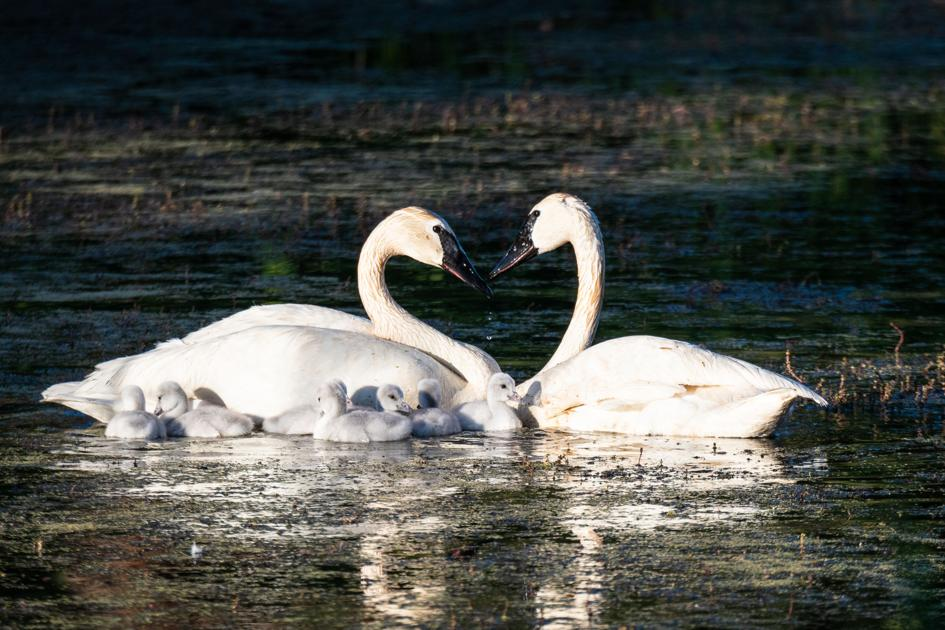 Death of Eloise means another blow to trumpeter swan breeding program