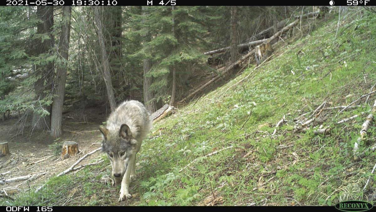 Lookout Mountain wolf